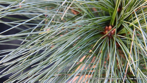 Bright-blue foliage on this fairly large-growing selection of Pinus strobus is soft to the touch. This plant was selected for its exceptional blue color by Josef Braeu of Edelweiss Nursery in Duluth, MN.