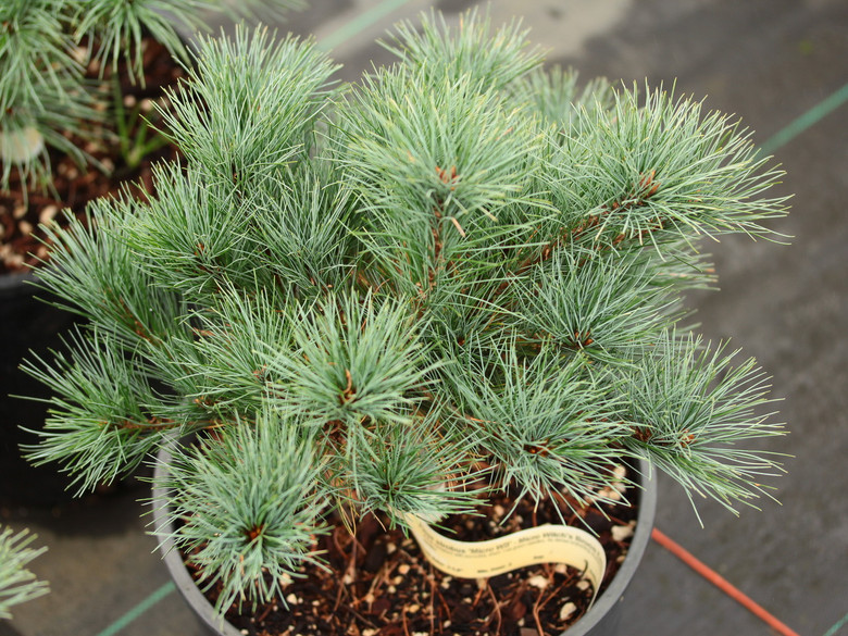 A true miniature with incredibly short, blue-green needles. Its dense branching structure makes it a very tight bun of soft needles.