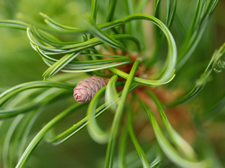 Restrained growth keeps this dense, rounded pine from outgrowing the landscaped border with little or no pruning. Small blue-green needles have distinctive twists and curves. It may develop a more pyramidal form with age.