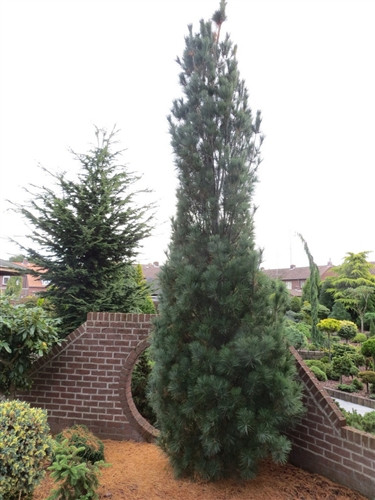 A columnar white pine with dense foliage and a more narrow habit than 'Fastigiata.' Another introduction by Greg Williams. The mother plant is certainly a beauty!