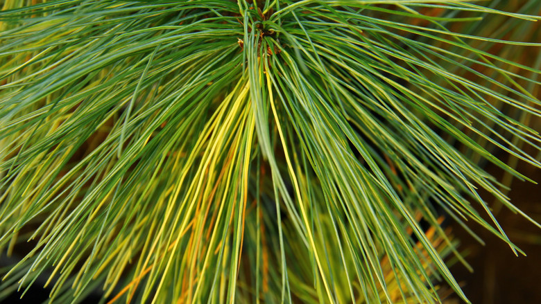 "This richly-variegated cultivar was found as a sport on a regular Pinus strobus by Ken Marek of Adrian, Michigan. It is named after the road on which it was found ""Ridgemont"" &""Rosie"" is his daughter's name."