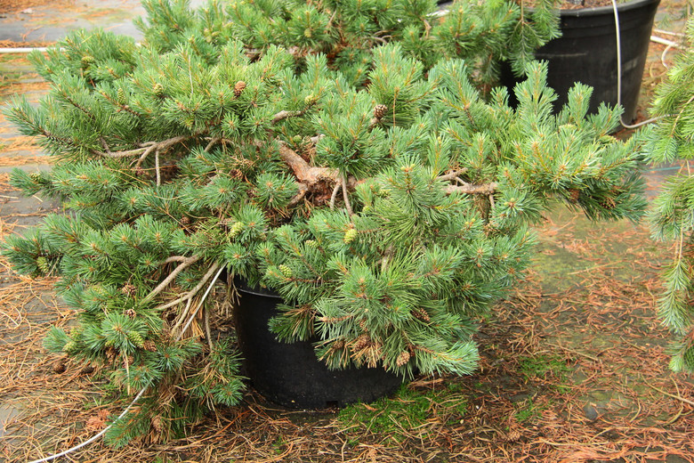 A sturdy, spreading form of Scots pine, this low selection has dark green needles with a silver or blue cast.  It makes an effective groundcover and will conform to the dimensions of a slope or a retaining wall. Tough and adaptable, it likes dry to average moisture. Also incorrectly known as 'Albyn's Prostrate' and 'Albyn Prostrata.'