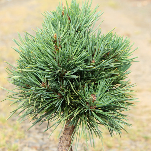 Found by William Bennett in the 1960's, this remains one of the premier dwarf forms of Scots pine with blue or green foliage. The dense, slow-growing, irregular mound of thick blue-green needles hides its buds in bunches of needles, which makes it a challenge to propagate. As a result, it is not as widely available as it might be. The rounded plant will occasionally send up strong growing shoots, most commonly in colder climates. Tough and adaptable, it likes dry to average moisture.