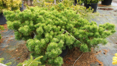 A carpeting form of Scots pine, this selection tends to become layered over time, but it rarely grows over one foot tall. It will spread out and creep along the ground to 8' or more in time, so it is particularly effective on a bank or hillside. Green to bluish-green needles take on a yellow-green hue in winter. Exposed branching adds character and interest. Tough and adaptable, it likes dry to average moisture. Discovered growing in a Christmas tree plantation about 1970 by Layne Ziegenfuss, Hillside Nursery, Lehighton, PA.