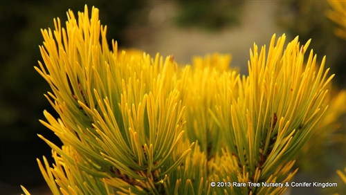 The brilliant golden-yellow winter foliage of this compact pyramidal pine lends a dramatic glow to the winter landscape.  Much more heavily branched than other golden Scots pine selections, including 'Gold Coin,' 'Gold Medal,' 'Aurea,' and 'KBN Gold,' its summer needles are very light aqua-blue-green, becoming bright golden-yellow at the tips. Considerable name confusion resulted from the nomenclature rule of 1957 that Latin cannot be used for cultivar names. Had been known as 'Nisbet's Aurea' and 'Nirbeth's Aurea' to acknowledge A.H. Nisbet of Hampshire, England who found it. Bob Fincham, Coenosium Gardens, Eatonville, Washington, changed the name to 'Nisbet's Gold' when he introduced it to the U.S. Tough and adaptable, it likes dry to average moisture.