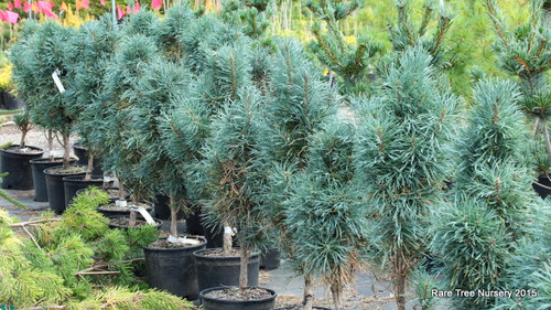 A very narrow columnar form with dark green to gray-green needles. Branching is more dense and needles are retained better than P. sylvestris 'Fastigiata.' An excellent columnar form.