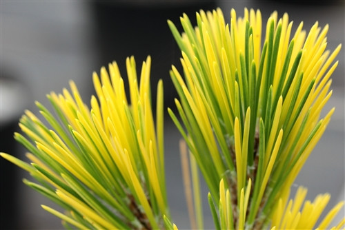 Long, dark-green needles are splashed with a bright golden-yellow variegation. This fast-growing tree is very handsome and it looks outstanding as a large specimen.