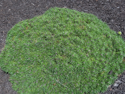 Silver-green needles on this miniature cultivar form a spreading cushion-shaped plant. A beautiful dwarf form that really stands out in a rock garden.