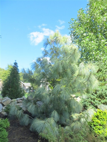 "A Himalayan Pine with yellow-banded light green needles. Needles are 6"" long or longer - the effect is extremely soft. An open upright form."