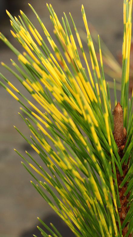 Long, dark-green needles are banded with a bright golden-yellow stripe. The luxurious, multi-colored foliage makes this variety especially unique.