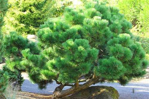 Long, dark-green needles protrude from the stems of this handsome pine. In winter, prominent white candles stand up at each branch tip, adding more contrast to the foliage.