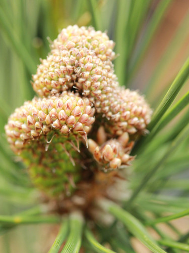 """Incredible new growth emerges in wide, flattened stems that resemble Japanese fans! This is where this rare pine gets its Japanese name """"ogi,"""" meaning """"fan."""" Long, dark-green needles and fasciated buds make this a really beautiful pine and likely the slowest-growing Pinus thunbergii!"""