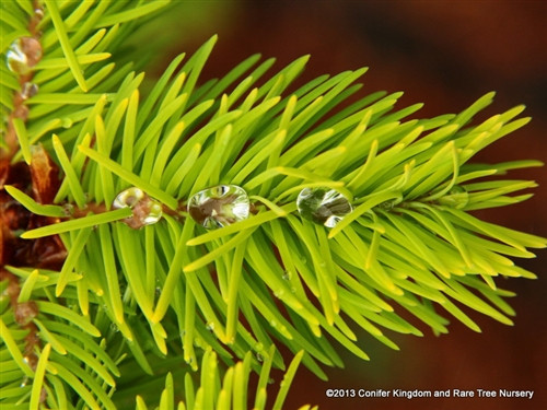 A yellow Douglas fir found by Richard Haslebacher &Lalo Villarreal of Woods Creek Horticultural in Silverton, OR. The yellow mother plant produces true yellow seedlings. Growth rate is typical of species.