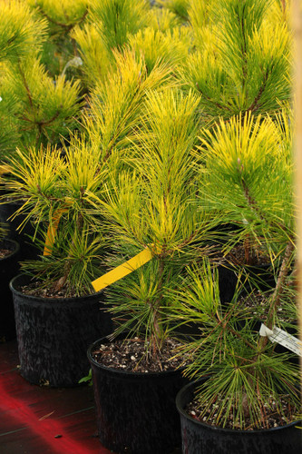 Rich, golden-yellow foliage is most prominent on areas most exposed to sunlight. A beautifully textured plant with remarkable coloration throughout the seasons.