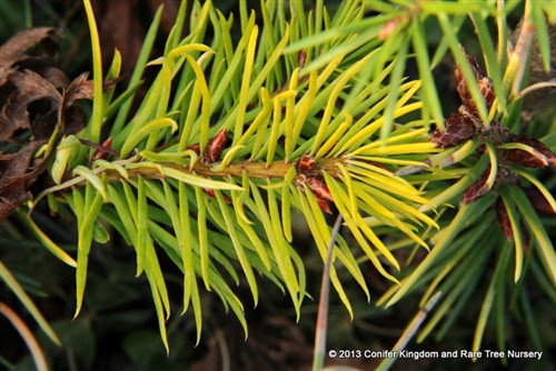 A golden selection which likes a touch of sun to maintain its color but some shade to prevent burning. A dense-growing pyramidal conifer.