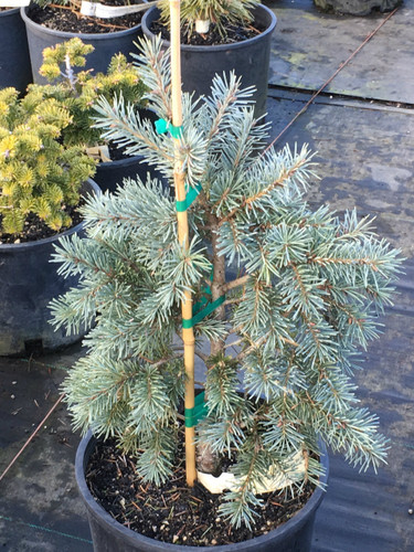 As its name suggests, this is a very blue and very big cultivar of Douglas Fir.