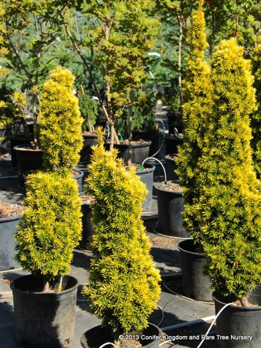 Bright golden foliage is most noticeable in areas where the plant was exposed to the sun. Forms a narrow pillar with age.
