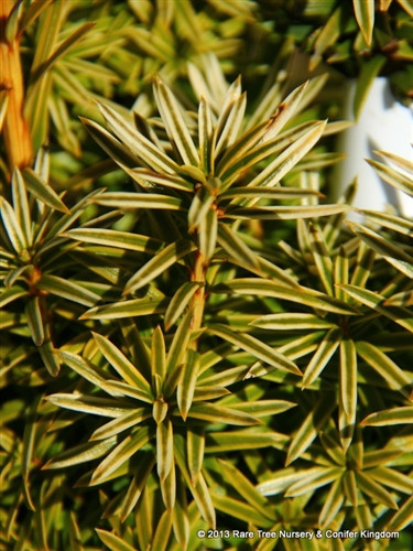 As its name suggests, this upright cultivar of English Yew has a silver-colored variegation on the margins of the leaves. This bright variegation is accentuated in the winter months. Its upright form and color combination make it a nice landscape plant.