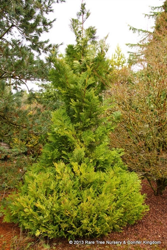 Thick sprays of flattened, scale-like foliage give this handsome, slow-growing tree a heavy texture and dense branch structure.