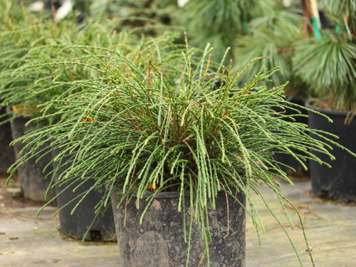 This peculiar variety looks like a firework of stringy foliage! Thin green branchlets radiate in all directions on this low, mounding conifer. Its fascinating texture and fun shape make it an excellent slow growing selection for most any garden.