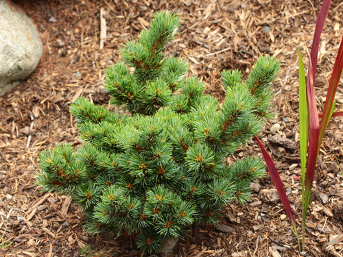Short, blue-green needles adorn the branches of this attractive dwarf pine. Dense bushy growth makes the plant even more appealing, while a windswept form gives a Japanese aesthetic to the plant. Same as M-par 21.