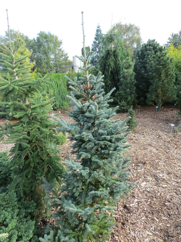 Rich, steel-blue foliage on this upright, pyramidal conifer is an outstanding color, akin to that of many Noble Firs but uncommon for Abies balsamea. Found at a Christmas tree plantation in New Hampshire.