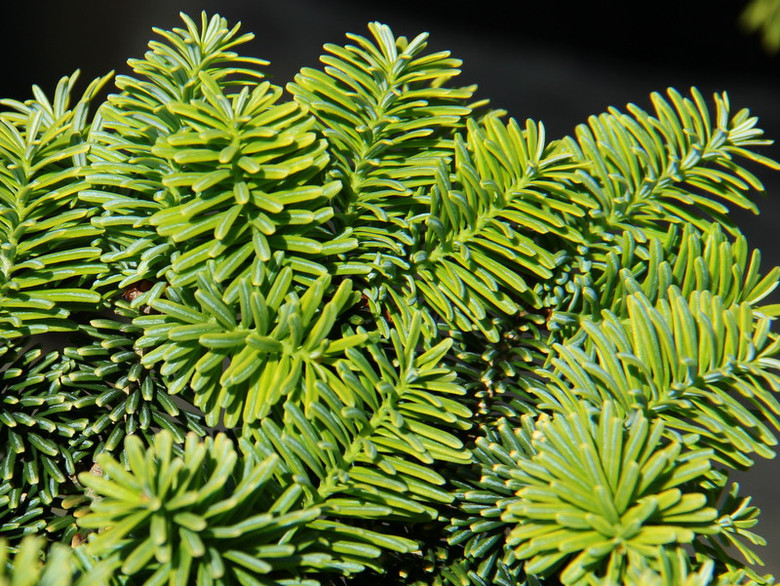 Extremely hardy and reliable, this round, flattened form of dwarf balsam fir has bright green new growth that contrasts nicely with its shiny dark green mature foliage.