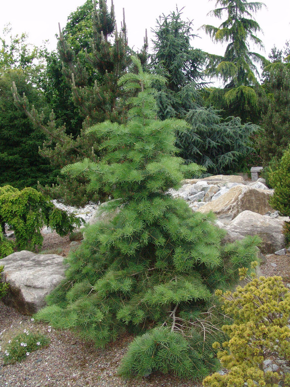 Abies Concolor Gables Weeping White Fir Conifer Kingdom