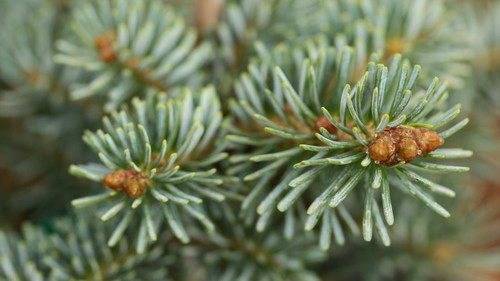 Bright, silver-blue foliage on this compact, dwarf fir are very ornamental. A new selection from Europe!
