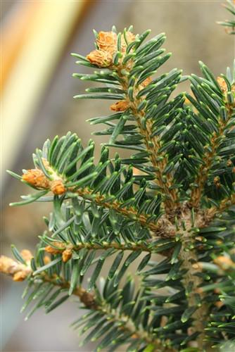 A very narrow, columnar fir with rich, dark-green needles.