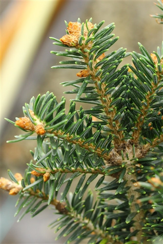 A very narrow, columnar fir with rich, dark-green needles.