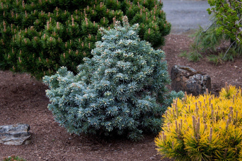 This incredibly dwarf form of Abies lasiocarpa originated from a tall, narrow tree that had very dense growth. It will grow to only be a small bun of silver-blue foliage.