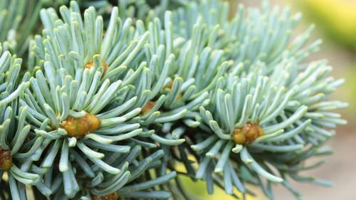 Abies lasiocarpa 'Cvikov'