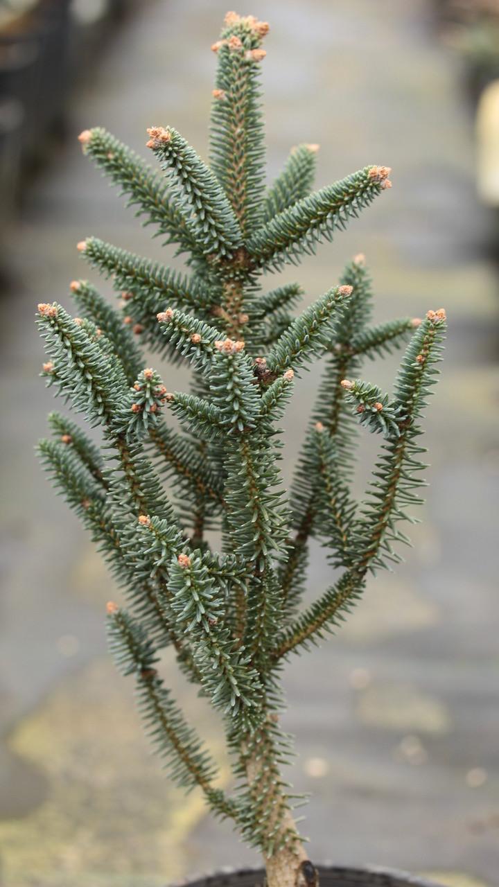 Abies Pinsapo Fastigiata Spanish Fir Conifer Kingdom