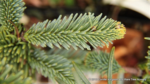 Blue-green foliage on this irregularly-spreading fir gives it a bright color and fascinating form. Each branch heads in a different direction, but the overall size and shape of the plant remains compact.