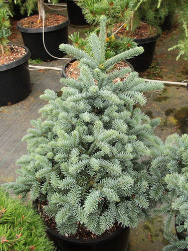 This upright dwarf has brilliant, silver-blue foliage. It is a nice compact version of the more common 'Glauca'.