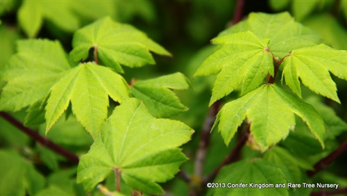 Small light green leaves have pink-red margins. Fall colors are orange and red. A great dwarf vine maple!