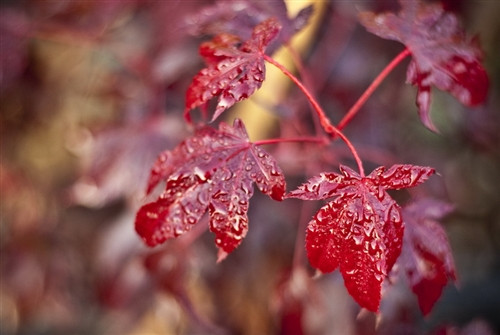 Spring leaves emerge bright burgundy.  New growth is bright red on top of older burgundy foliage.  Fall colors are bright orange and red