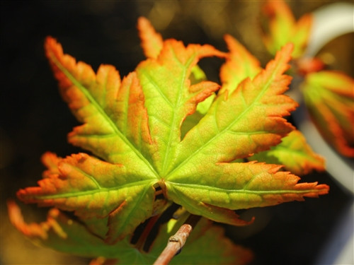 A slow-growing maple with petite leaves that range in color throughout the year. Sometimes featuring red, yellow, or green.
