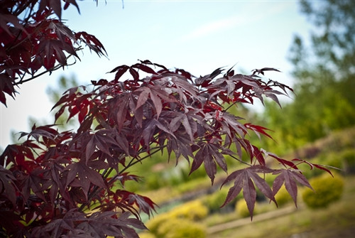 This vigorous, deep purple-red Japanese maple resembles Bloodgood, but has better leaf color retention, and the advantage of leafing out two weeks later. A hardy, upright tree with a broad canopy, it makes a striking focal point in the large landscape.