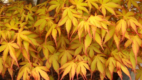 Small palmate leaves are yellow-orange with orange-red margins. By summer, the unique colors have faded and leaves are light green.