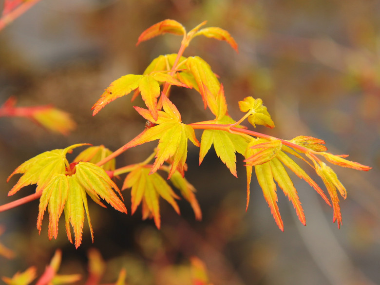 Small, orange-green leaves have a fantastic coloration in early spring. The color persists through the summer with the newer growth being most vibrant. This maple will eventually develop into a small tree.