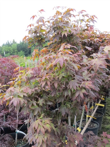The name of this tall, shrubby Japanese maple means gold calico cloth, a reference to the diversity of both leaf color and shape. Spring leaves display different intensities of red with contrasting green venation. In summer, green leaves have bronze hig