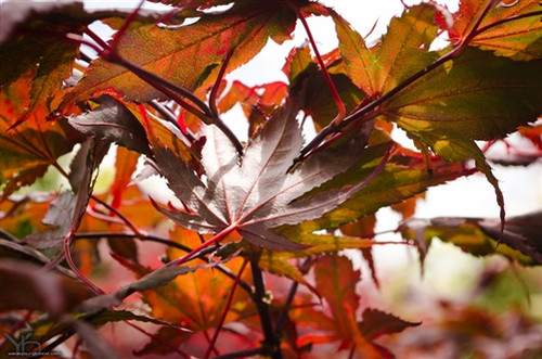 Contrasting veins and crumpled margins give the foliage of this semi-upright Japanese maple a distinctive look. In spring, the red leaves display dark purple veins; in summer, the leaves darken to red-purple and veins are less noticeable; in fall, the leaves change to bright oranges and reds.