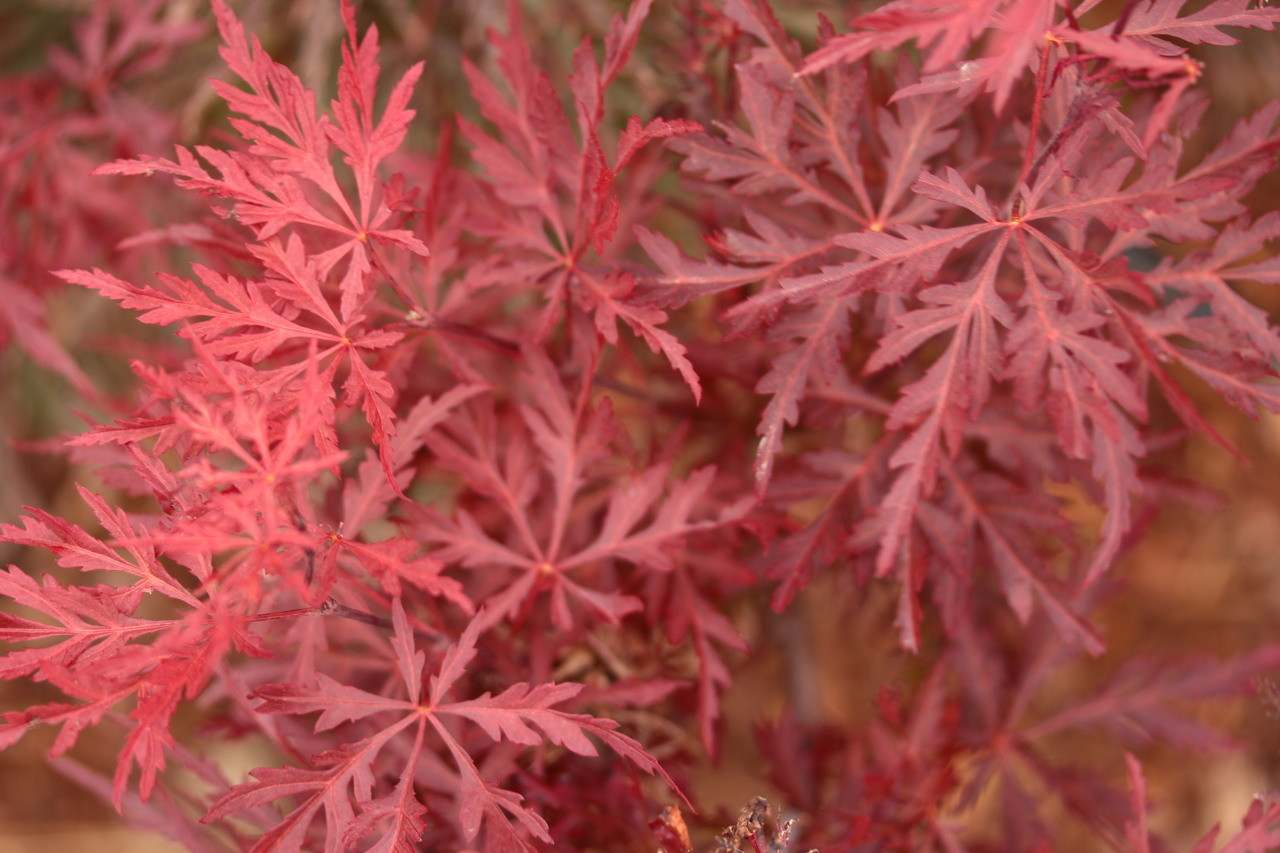 Acer Palmatum Red Dragon Japanese Maple Conifer Kingdom