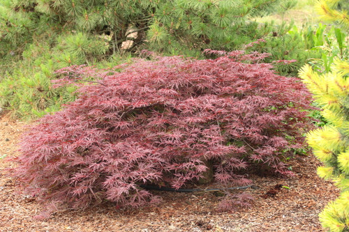 Reputed (we agree) to keep its deep purple-red color better than any other laceleaf, this Japanese maple starts the season with bright burgundy new foliage. Leaf color softens to purple-red, which holds throughout the season, even in shade. Compact and well-branched, the cascading mounded bushy maple works well in a small garden or container. Fall color is bright red. Dissectum.