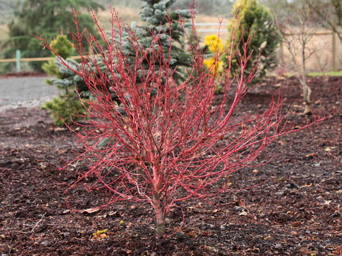A denser version of the popular 'Sango kaku' or coral-bark Japanese maple. Bright red twigs and compact growth habit make this uncommon variety especially showy, even in the smaller garden!