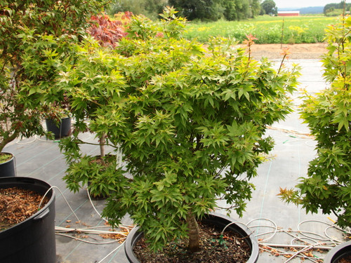 Colorful new growth has a mix of apricot tones and light-green color. The leaves and buds are quite densely-arranged, giving this slow-growing maple a congested appearance.