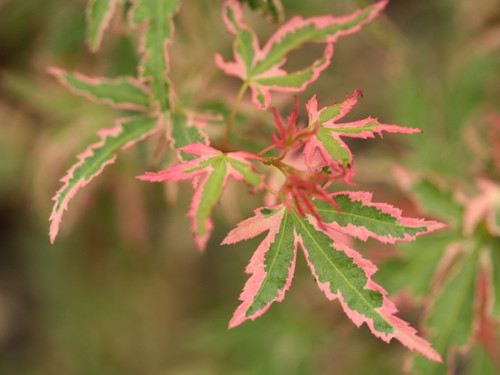 A dwarf deciduous shrub with a bushy upright form. Thin willowy branches feature small green leaves edged in pink. Very colorful throughout the year.