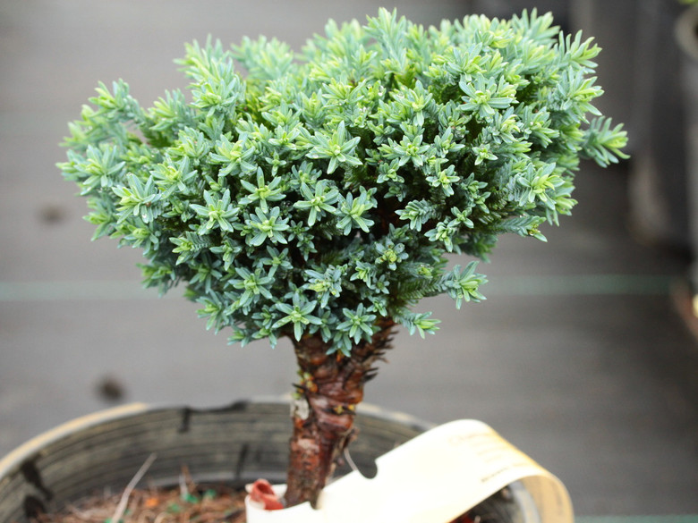 Dense blue, feathery foliage makes this dwarf soft to the touch. It was found as a witch's broom on Chamaecyparis lawsoniana 'Ellwoodii' in Molenschot, The Netherlands. It was named for the street on which it was found--Rimpelaar Street.